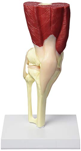 - GPI Anatomicals Muscled Knee Anatomical Model Bone Joint