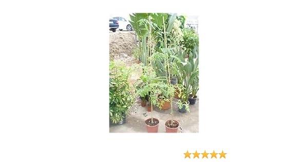 2x Moringa oleifera, 2 plantas/arboles, arbol de la vida: Amazon ...