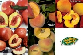 4-N-1 Fruit Salad Tree - With 4 of these varieties: (Polly White Peach, Harcot Apricot, Harken Peach, Harco Nectarine, Superior Plum) All grafted onto 1 tree.