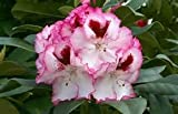 Rhododendron Cherry Cheesecake - Stunning White Bloom Circled by Red (One Gallon)