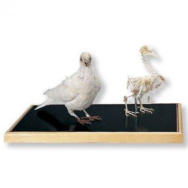 Dove Skeleton + Stuffed Dove by 3B Scientific