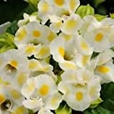 20+ LEMON DROP TORENIA WISHBONE FLOWER SEEDS / ANNUAL