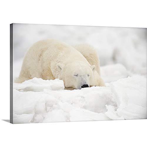 Polar Bear Sleeping in The Snow, Churchill, Manitoba, Canada Canvas Wall Art Print, 18
