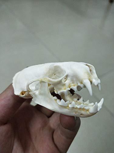 weasel Skull Taxidermy supplies art bone vet medicine 1:1