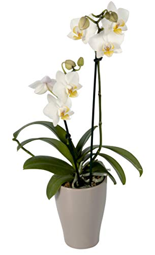 Color Orchids Live Blooming Double Stem Phalaenopsis Orchid Plant in Ceramic Pot, 15-20 Tall, White Blooms