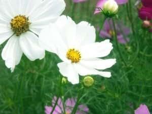 SD1440 White Dwarf Cosmos Seeds, Calliopsis Garden Guaranteed Live Flower Seeds, 60-Days Money Back Guarantee (100 Seeds)