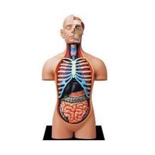 Learn about Human Anatomy - Torso Anatomy Model (Age (4d Anatomy Eyeball Model)