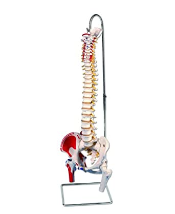 """3B Scientific A58/3 Classic Flexible Spine Model with Femur Heads and Painted Muscles, 32.7"""" Height"""