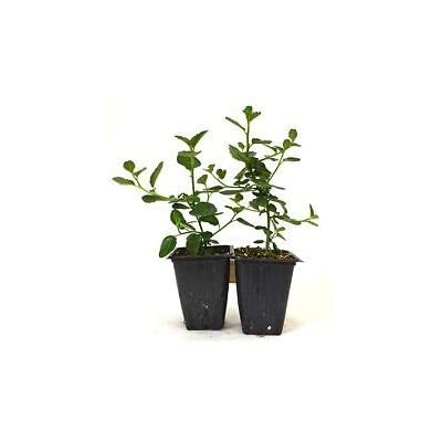 "Ceanothus Griseus Horizontalis""Yankee Point"" Plants - 2 Pack Fresh Mature Shrub from Grandiosy Farm : Garden & Outdoor"