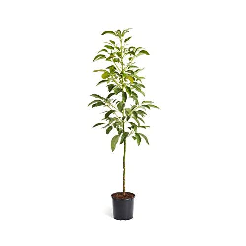 Cheap Hass Avocado Tree - 4-5 feet tall in a 3 gallon pot - Indoor Fruit Tree by Brighter Blooms for cheap