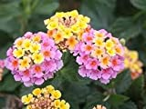 Pastel Pink and Yellow Lantana 2 Seeds!nice Color!