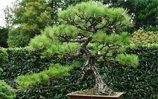 Bonsai Pine White Tree (Chinese White Pine 10 Seeds Pinus armandii Ornamental Bonsai Tree Seeds CombSH)