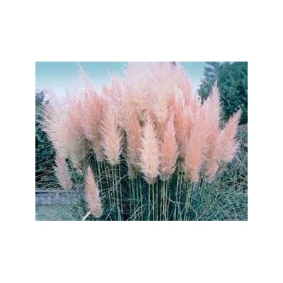 HOT - 100 Ornamental Pink Pampas (Cortaderia Selloana) Grass Seeds : Garden & Outdoor
