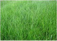 The Dirty Gardener Kenicott Creeping Red Fescue Lawn Grass - 10 Pounds