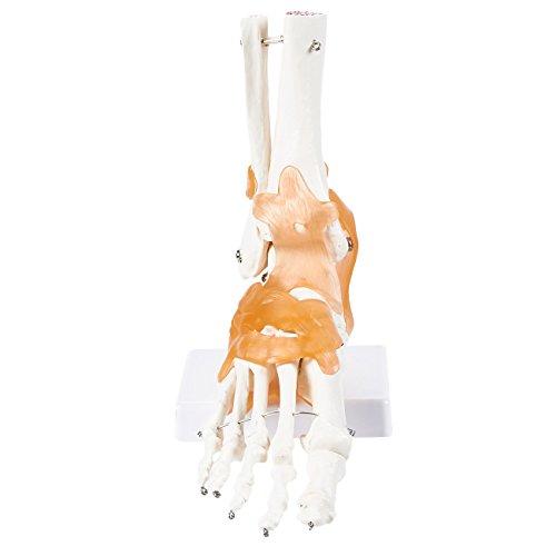 [해외]인간의 발목 모델-과학 교육 교실 사용을 위한 인 대와 발 해부학 모델 8.9 x 8 4.2 인치 / Human Ankle Model - Foot Anatomical Model with Ligaments for Science Education Classroom Use 8.9 x 8 x 4.2 Inches