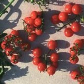 David's Garden Seeds Tomato Cherry Texas Wild D411CHTO (Red) 25 Open Pollinated Seeds