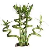 sellify 20 pcs / sac, graines Lucky Bamboo, balcon en pot, la plantation est simple, le taux de bourgeonnement de 95%, l'absorption de rayonnement, couleurs mélangées