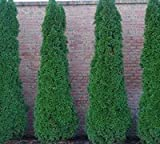 Emerald Arborvitae - Two Live Plants 2 Feet Tall - Buy One Get One Sale (No California)