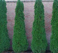 (Emerald Arborvitae - Live Plants 2 Feet Tall by DAS Farms (No California))