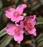 Tradescantia (Spiderwort) bracteata 250 seeds