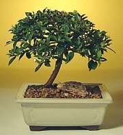 Bonsai Boy's Flowering Brush Cherry Bonsai Tree - Small eugenia myrtifolia