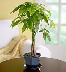 LOU'S BONSAI NURSERY GOOD LUCK MONEY BONSAI TREE (INDOORS)