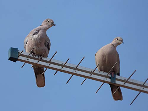 (Home Comforts Laminated Poster Antenna Gesture Couple Turtledoves Birds Vivid Imagery Poster Print 11 x 17)