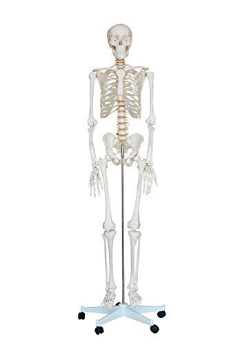 """Price comparison product image """"Mr. Hanks"""" Human Anatomy Skeleton Life Full Size Model 6 ft. tall with Stand / 5 ft 5 inches tall without stand. Perfect for students, teachers, educators, classroom, and occasionally for Halloween use. All parts are adjustable. LOWEST PRICE ON AMAZON"""