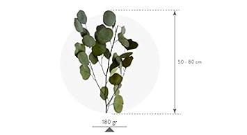 Verdissimo Eucalipto Cinerea 180 Gramos Ramas para arreglos 60-80 cm, Verde