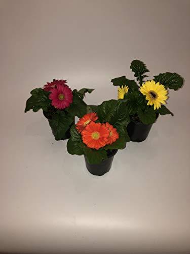 Gerbera Daisy Plant - The Three Company Healthy Live 5