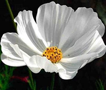 Cosmos Puret/é Blanc Graines de Fleurs//s/écheresse Tolerant annuelles vegherb 50 graines