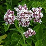 Garden Heliotrope Herb Seeds (Valeriana Officinalis) 200+Seeds (400+)