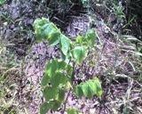 """4 Common Hackberry (Celtis occidentalis) 6-12"""" seedlings"""