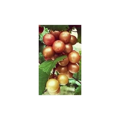 Pixies Gardens (1 Gallon) Pam Muscadine Grape Vine Shrub, Antioxidants, Female Variety, Hydrangeas Shrub, Evergreens, Gardenia : Garden & Outdoor