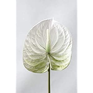 MARJON Flowers Artificial Real Touch Anthurium Flower Branch Simulation Calla Plastic Flowers Home Wedding Decorative Waterproof Fake Flower White 113
