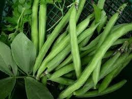 The Dirty Gardener Heirloom Top Crop Bush Bean Seeds - 1 Pound