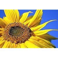 schwarze Sonnenblumenkerne, 25 kg