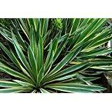 SVI Yucca Gloriosa variegata 15 Seeds