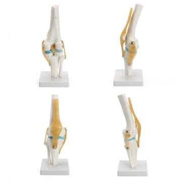 Reefer Set - Genu Bilateral Exemplar - Knee Joint Model Human Skeleton Anatomy Study Display Teaching Medical Set - Articulatio Trial Reefer Role Junction Posture Clannish Worthy Mold - 1PCs