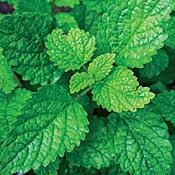 Lemon Balm Perennial Herb Plant - Heirloom - Melissa - 3