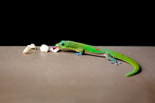 beautiful-green-and-red-madagascar-gold-dust-day-gecko-eating-fruit-in-hawaii-print-picture-photo-ph