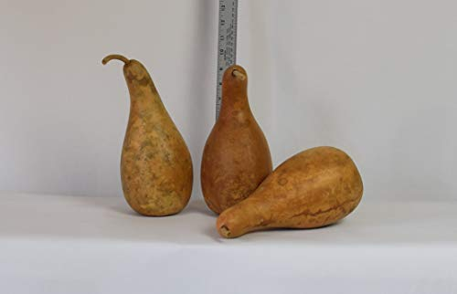 "Box of 3 Dried and Cleaned 8"" - 10"" Penguin Gourds"