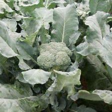 Amadeus Broccoli (Brassica oleracea VAR. Italica)