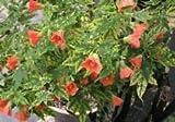 1 Flowering Maple Abutilon pictum thompsonii Live Potted Tender Perennial Peach