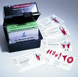 The Muscular System Flash Card Set (Origin And Insertion Flash Cards)