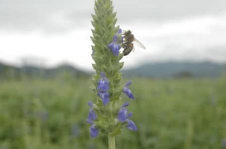Amazon.com: 1000 Chia Sage/Salvia Salvia Hispanica semillas ...