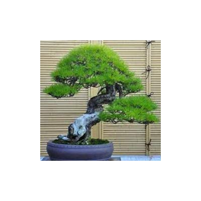 $0.97/50 Bonsai Pine Bonsai Hot Sale Very Easy Grow Beautiful Yaccatree Tree Bonsai bansai Podocarpus Tree Bonsai: Garden & Outdoor