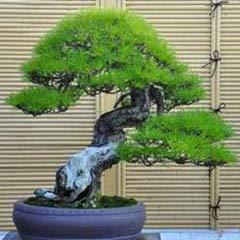 Podocarpus Bonsai - $0.97/50 Bonsai Pine Bonsai Hot Sale Very Easy Grow Beautiful Yaccatree Tree Bonsai bansai Podocarpus Tree Bonsai