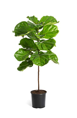 Fiddle Leaf Fig - 2 Trees in 3 Gallon Pots - The Most Popular Indoor Fig Tree- Tall, Live Indoor Fig Trees (2 Trees in 3 Gallon Pots) by Brighter Blooms (Image #1)