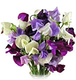 Early Spencer Mix Sweet Pea Seeds - 3.5 grams- Lathyrus